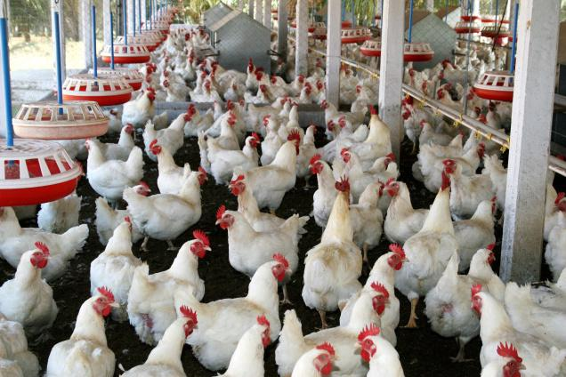 Philippines Poultry Farming Guide PDF - Poultry Manual