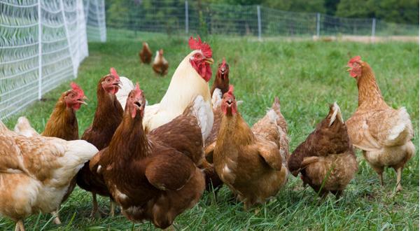 Chicken in a Run: Improved Kienyeji Chicken Farming
