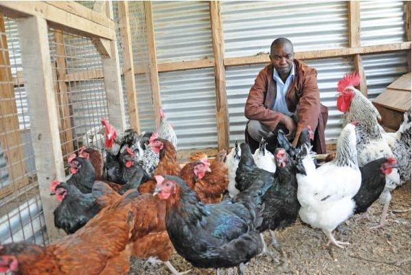 Kienyeji Chicken Business
