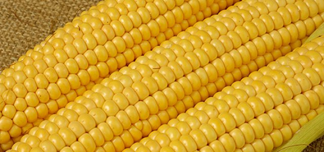 Yellow Maize is Very Good For Your Chicken