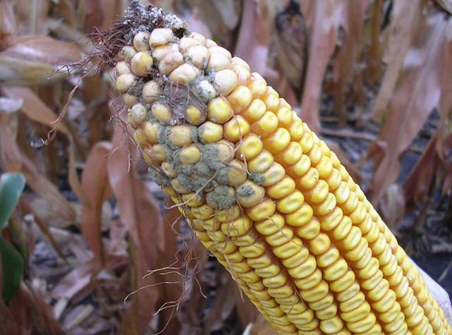 Avoid Using Rotten Maize in Making Your Kienyeji Feeds